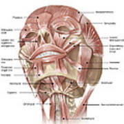 Anterior Neck And Facial Muscles Poster