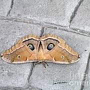 Antheraea Polyphemus Poster