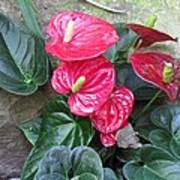 Anthurium Red Poster
