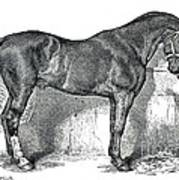 Antique Horse Drawing Poster