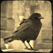 Antique Sepia Crow Poster