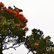 Apapane Atop An Orange Ohia Lehua Tree  Poster