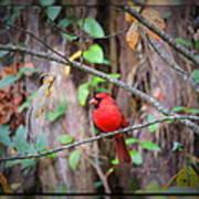 Appalachian Cardinal Poster
