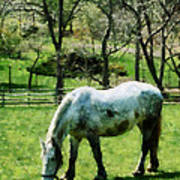 Appaloosa In Pasture Poster