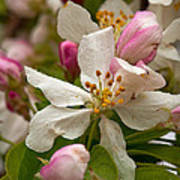 Apple Blooms Poster