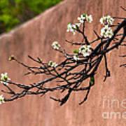Apple Blossom Branch Poster