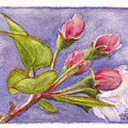 Apple Blossom Buds Poster