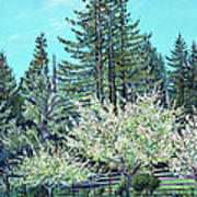 Apple Blossoms And Redwoods Poster