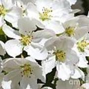 Apple Blossoms In Spring Poster