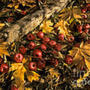 Apples In Fall Poster