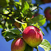 Apples On Tree Poster