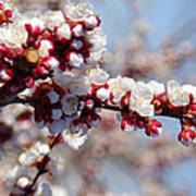 Apricot Blossoms Popping Poster