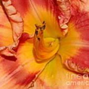 Apricot Daylily Close-up Poster