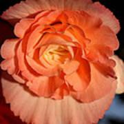 Apricot Pink Tuberous Begonia Poster