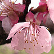 Apricot Spring Poster
