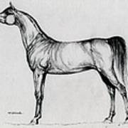 Arabian Horse Drawing 34 Poster