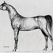 Arabian Horse Drawing 34 Poster