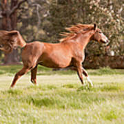 Arabian Horse Running Free Poster