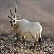 Arabian Oryx Oryx Leucoryx Poster
