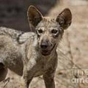 Arabian Wolf Canis Lupus Arabs Poster
