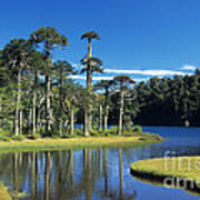 Araucaria Forest Chile Poster