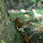 Arched Chipmunk Poster