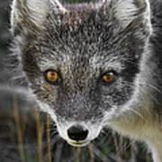 Arctic Fox In Summer Coat Poster