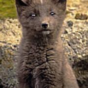 Arctic Fox Pup Alaska Wildlife Poster