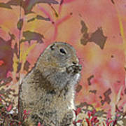 Arctic Ground Squirrel In Autumn Colors Abstract Poster