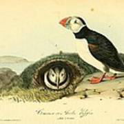 Arctic Puffin Poster by Philip Ralley