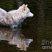 Arctic Wolf In Pond Poster