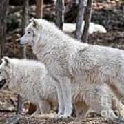 Arctic Wolf Pair Poster