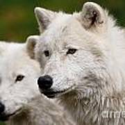 Arctic Wolf Picture 247 Poster