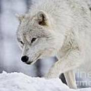 Arctic Wolf Pictures 1054 Poster