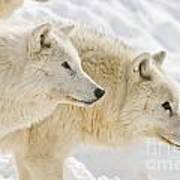 Arctic Wolf Pictures 1081 Poster