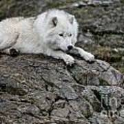 Arctic Wolf Pictures 1142 Poster