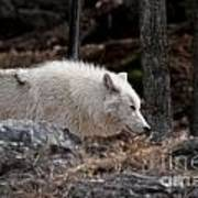 Arctic Wolf Pictures 541 Poster