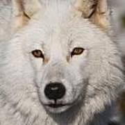 Arctic Wolf Pictures 814 Poster