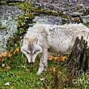 Arctic Wolf Pictures 927 Poster