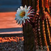 Argentine Cactus Poster