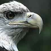 Aristocratic Bald Eagle Poster