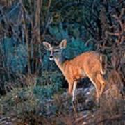Arizona Deer Sunset Poster