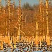 Arkansas Ducks Poster