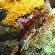 Arrow Crab In A Rainbow Of Coral Poster