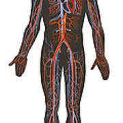 Arteries And Veins Of The Human Body Poster