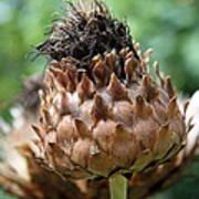 Artichoke Bloom Poster