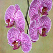 Artsy Phalaenopsis Orchids Poster