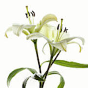 Asiatic Lily Flowers Against White Poster