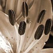 Asiatic Lily Named Vermeer Poster