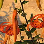 Asiatic Tiger Lily Poster